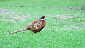 Pheasant (Phasianus colchicus). On grass Royalty Free Stock Images