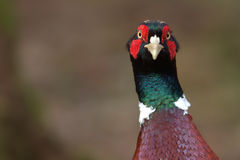 Pheasant (Phasianus colchicus). A close up portrait of a Pheasant (Phasianus colchicus). This bird is largely kept and bred for gunsport purposes stock photos