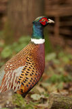 Pheasant - Phasianus colchicus Stock Photography