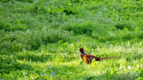 Pheasant - Phasianus colchicus Royalty Free Stock Image