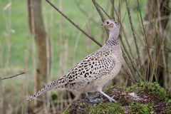 Pheasant phasianus colchicus on old tree trunk. Female (hen) pheasant (phasianus colchicus) on fallen moss covered old tree trunk feeding on grain put out at Stock Image