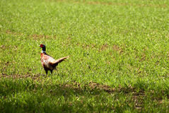 Pheasant Phasianus colchicus Royalty Free Stock Photos