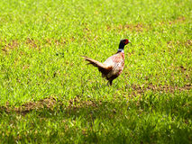 Pheasant Phasianus colchicus Stock Photography