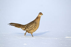 Pheasant, Phasianus colchicus Stock Photo