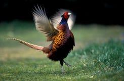 Pheasant, Phasianus colchicus. Single male calling, UK Stock Photo