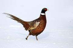 Pheasant, Phasianus colchicus Royalty Free Stock Images
