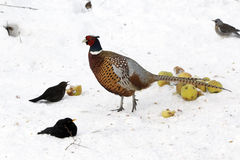 Pheasant, Phasianus colchicus Stock Photos