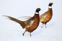 Pheasant, Phasianus colchicus Royalty Free Stock Photography