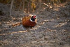 Pheasant (Phasianus colchicus) Stock Image