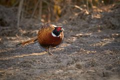 Pheasant (Phasianus colchicus) Royalty Free Stock Photo