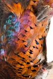 Pheasant plumage Royalty Free Stock Photography