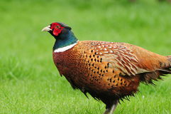 Pheasant profile Royalty Free Stock Photos