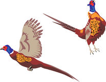 Pheasant. Ring necked pheasant flying and crowing - color illustration Stock Photo
