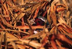 pheasant ringnecked rooster Arkivbild