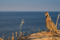 Pheasant on the rock by the sea Stock Photos