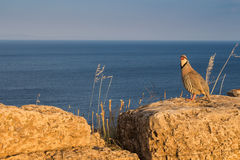 Pheasant on the rock by the sea Stock Photography