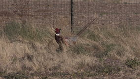 Pheasant Rooster stock footage