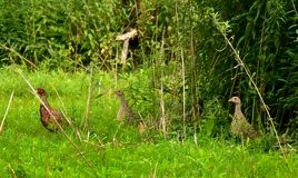 Pheasant rooster and hens walking in grass Royalty Free Stock Image