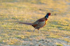 Pheasant rooster walking on green lawn Royalty Free Stock Photography