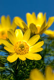 Pheasant's eye (Adonis vernalis) Royalty Free Stock Photo