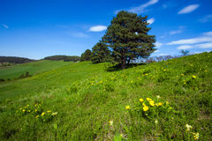 Pheasant's eye beautiful spring yellow flowers on hill Royalty Free Stock Images