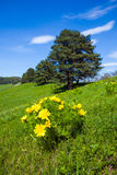 Pheasant's eye beautiful spring yellow flowers on hill Royalty Free Stock Photos