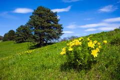 Pheasant's eye beautiful spring yellow flowers on hill Royalty Free Stock Photo