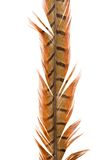 Pheasant's feather Stock Image