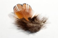 PHEASANT'S FEATHER Stock Photo