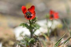 Pheasant& x27; Sauge u. x28; Adonis-annua& x29; in der Blume Lizenzfreie Stockfotos