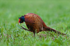 Pheasant scratching Royalty Free Stock Images