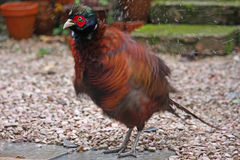 Pheasant Stock Photography