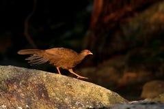 Pheasant. The Silver Pheasant(Lophura leucomelanos)male walk on stone stock photos