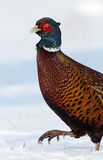 Pheasant in the snow Stock Photos