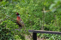Pheasant standing on a fence. Royalty Free Stock Image