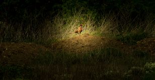 Pheasant standing in the field royalty free stock image