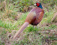 Pheasant. Standing in grass looking at camera stock images