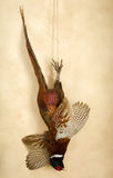 Pheasant still life. Still life of hunting scene with a hanging pheasant Stock Photography