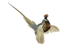 Pheasant in strutt Stock Image