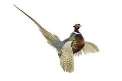 Pheasant in strutt Stock Image
