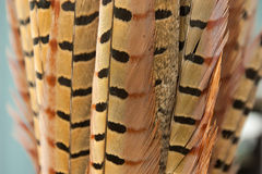 Pheasant Tail Feathers Royalty Free Stock Images