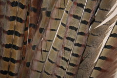 Pheasant tail feathers. A close up showing the bar pattern of ring neck pheasant tail feathers Stock Photo