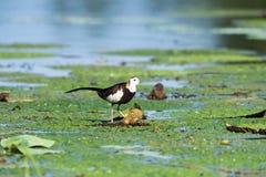 Free Pheasant-tailed Jacana Royalty Free Stock Image - 154660796