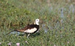 Pheasant tailed jacana royalty free stock photography