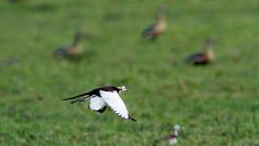 Pheasant-tailed Jacana in Bundala national park, Sri Lanka Stock Photo