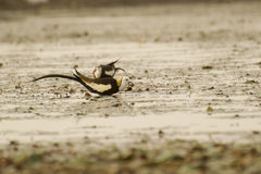 Pheasant-tailed Jacana eating a Snail Stock Image