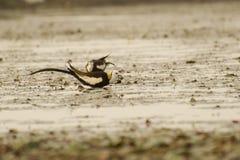 Pheasant-tailed Jacana eating a Snail Stock Image