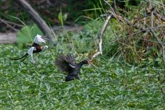 Pheasant-tailed Jacana guards the site to drive away Common Moorhen stock photography