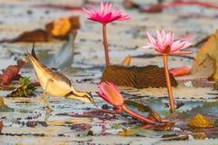 Pheasant-tailed Jacana Stock Image