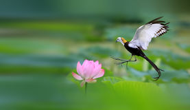 Pheasant-tailed Jacana. Pheasant - tailed Jacana is looking for food in the lotus pond Royalty Free Stock Images